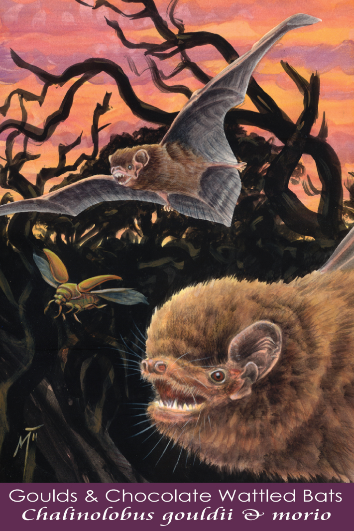 Chocolate Wattled Bat and Gould's Wattled Bat