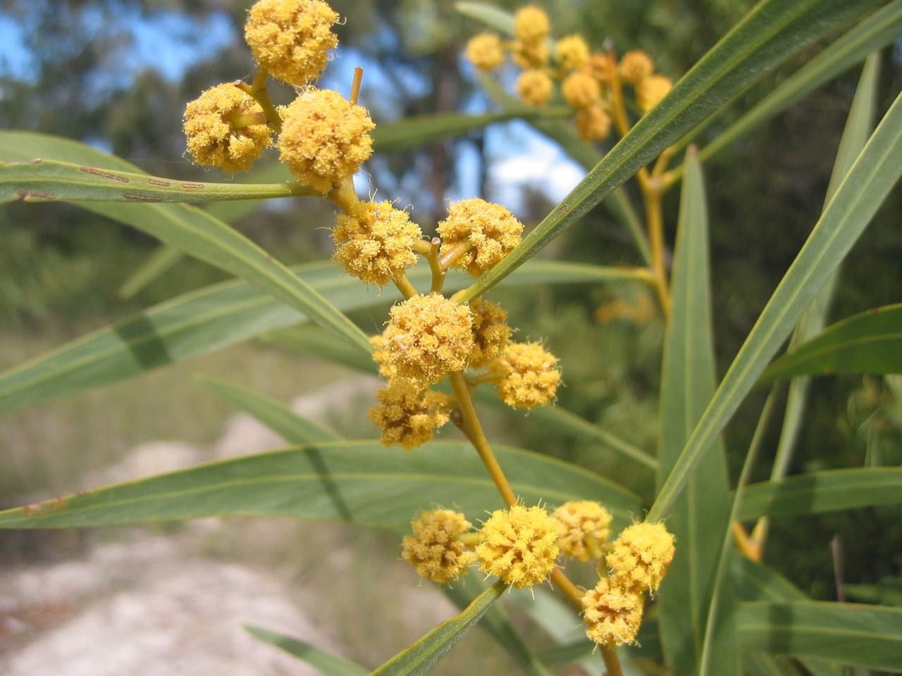 Golden Wreath Wattle