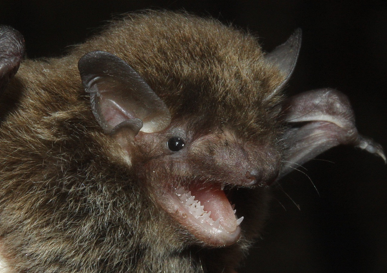 Little Forest Bat, Large Forest Bat and Southern Forest Bat