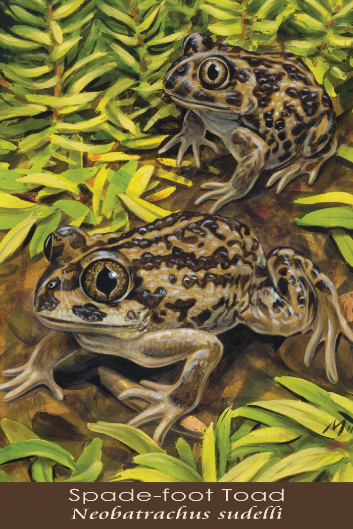 Spade-foot Toad