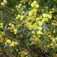 Varnish Wattle