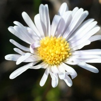 Wet-heath Daisy