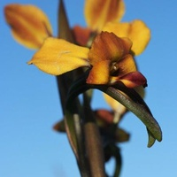 Wallflower Orchid, Donkey Orchid